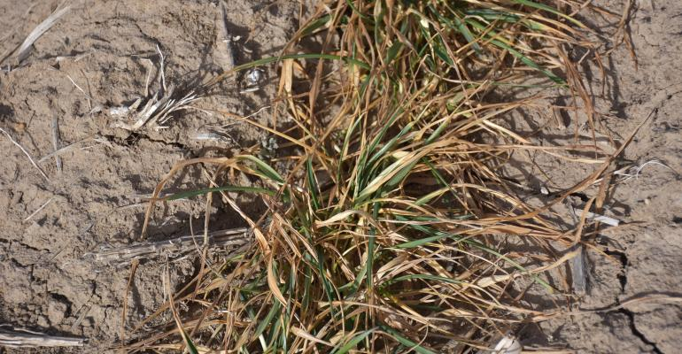winter wheat affected by drought