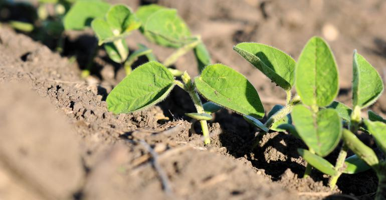 young soybean plants in field