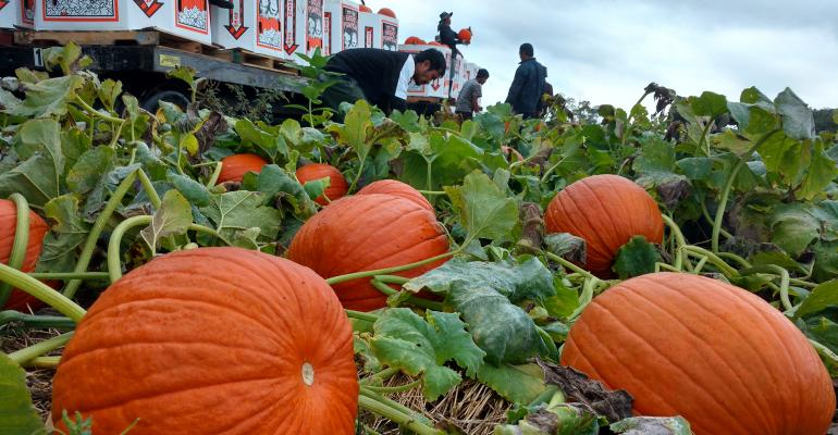 Workers harvest shiny orange pumpkins from field