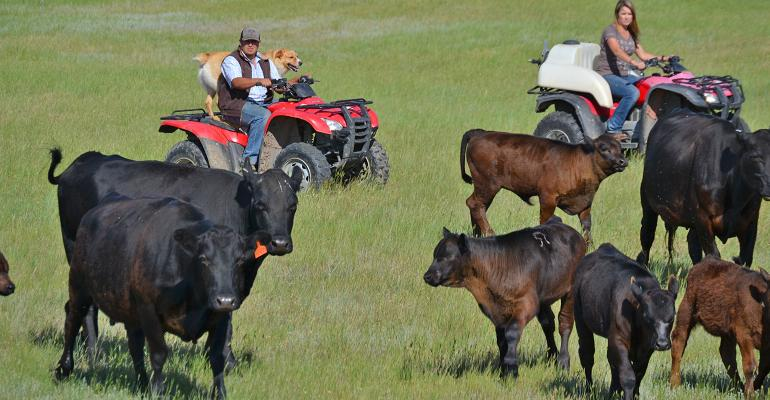 Troy Mills and Amanda Riter on ATVs moving cattle