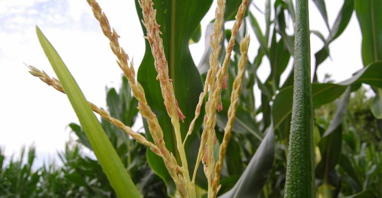 Close up of tassle on corn plants in the field