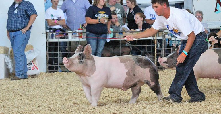 pig in show ring at fair