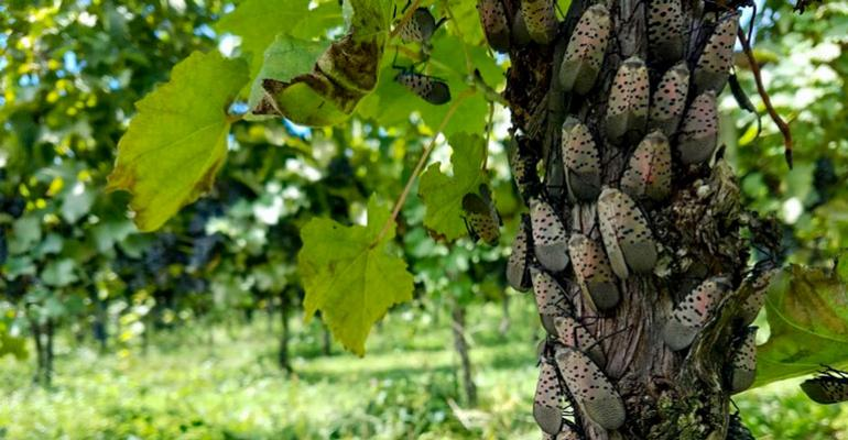 Spotted lanternflies in Pennsylvania have a taste for grapes