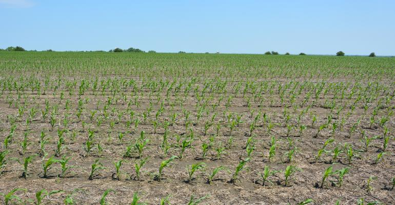 Young rows of corn in field
