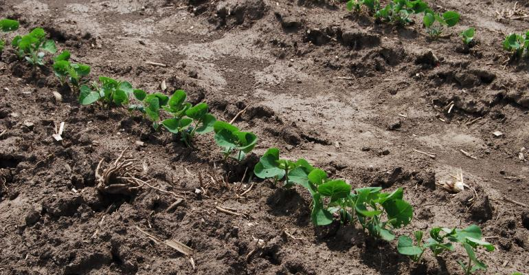 young soybean plants in soil