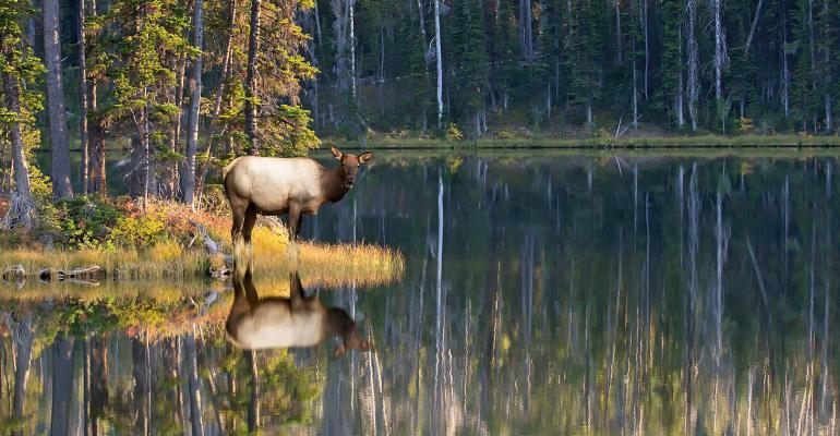 lakeside elk in Yellowstone Park
