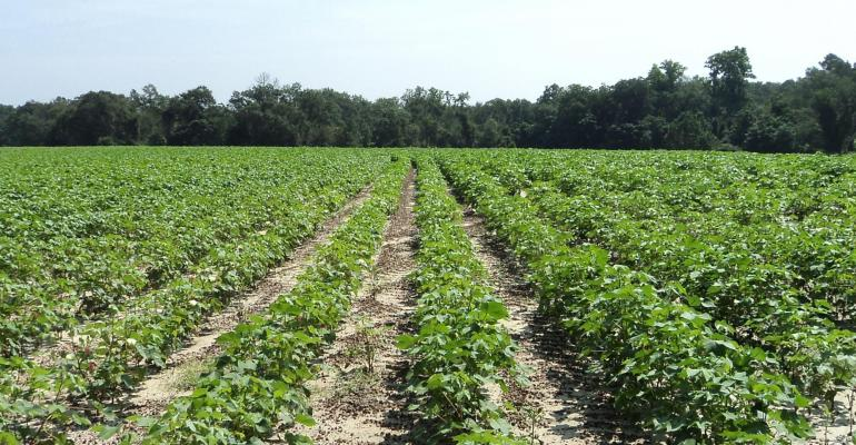 Young cotton rows