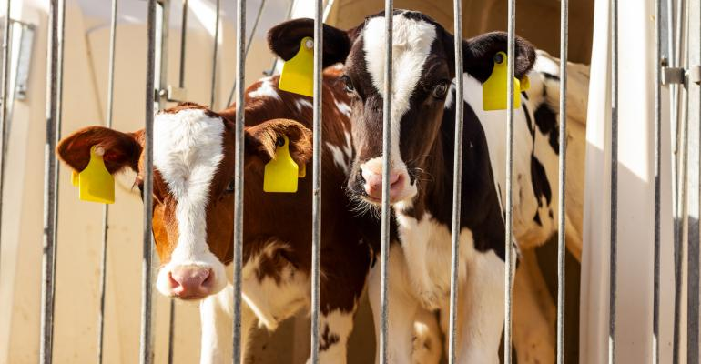 Two calves occupy a hutch