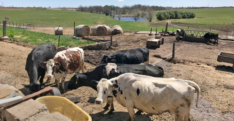 cows in feed lot
