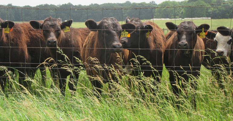 black cows seen through wire fenceline