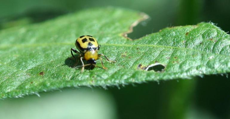Bean leaf beetle on soybean leaf