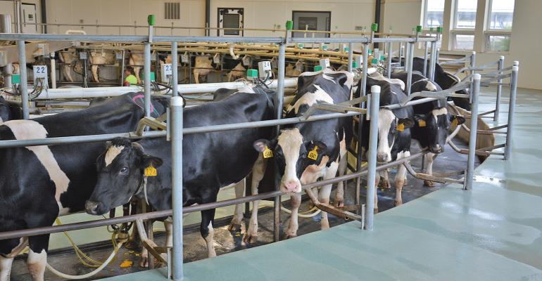 Holsteins on milking carousel