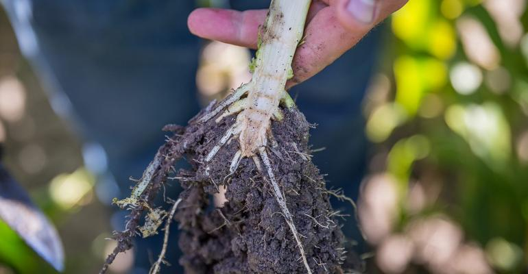 Severe root pruning by corn rootworm larvae