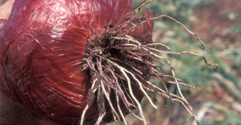 onion with pink root