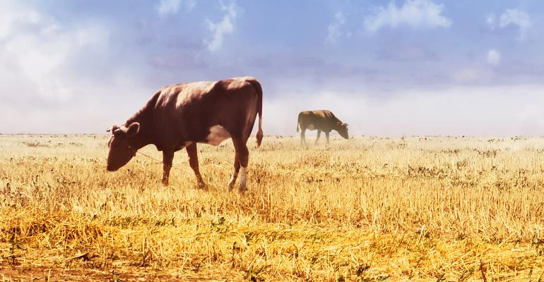 cattle in corn field