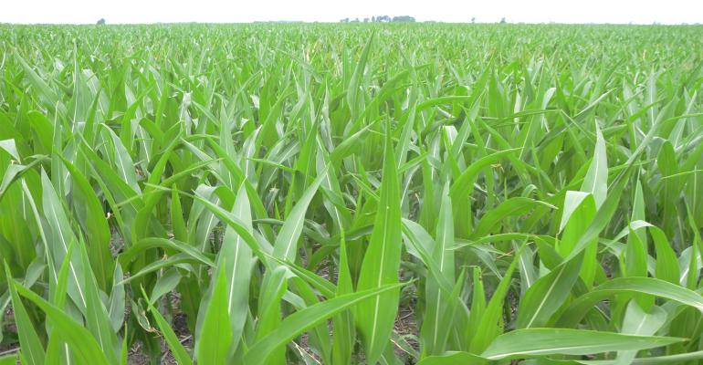 Close up of young corn plants