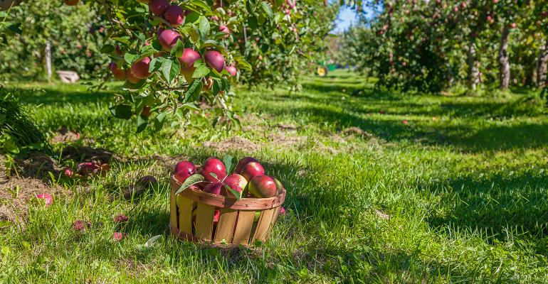 apple trees and basket