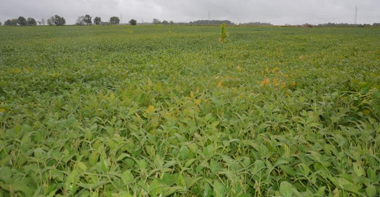 soybean field with patches of lighter color