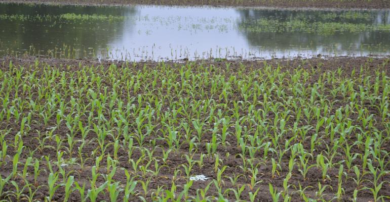flooded cornfield