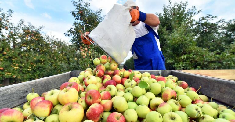 A worker unloads apples into a bin during harvest