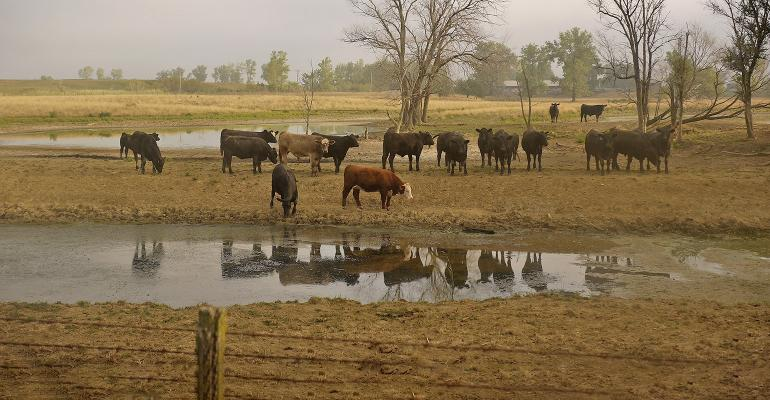 beef cattle gather at watering hole