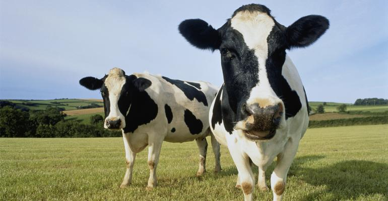 Two holstein cows in field