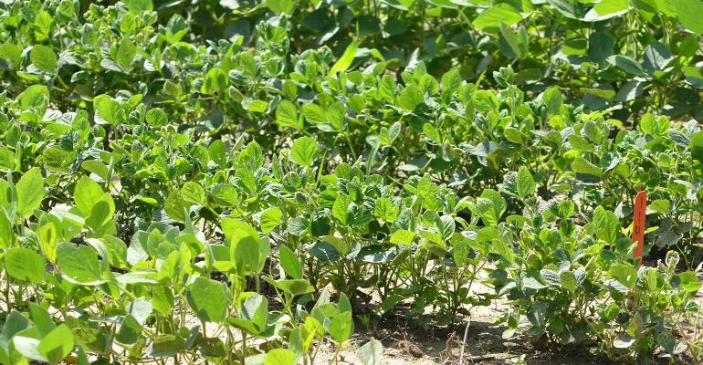 cupping of soybean leaves