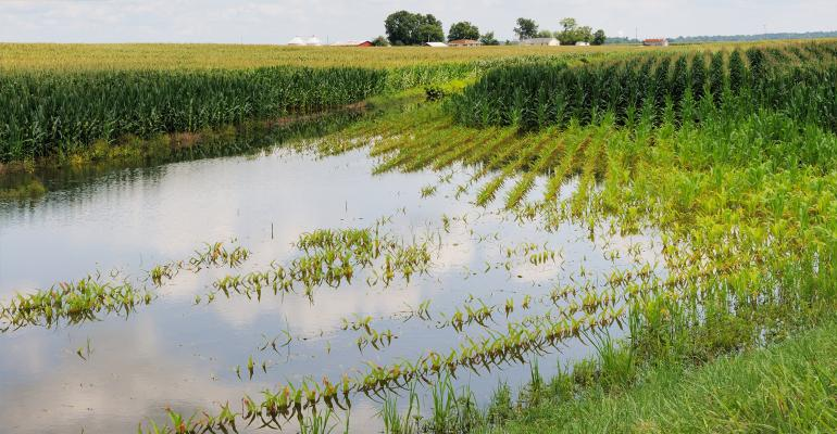 Mid-summer view of flooded corn field
