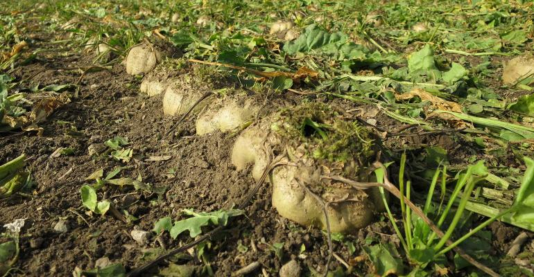 field of sugarbeets