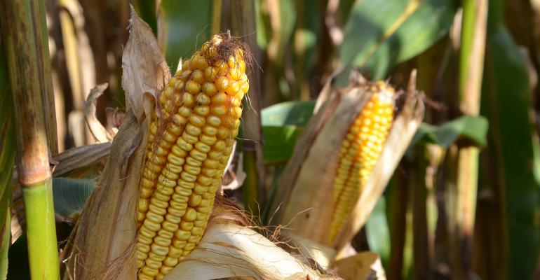 2 ears of corn, shucked, on the stalk