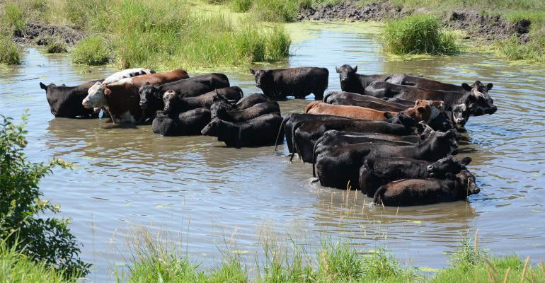 Cows in pond