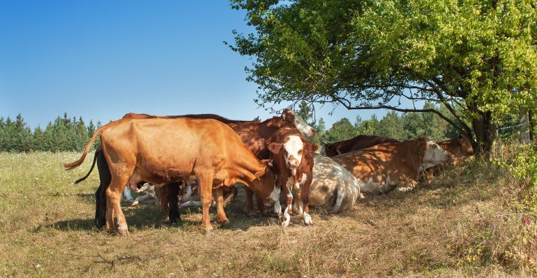 cows grazing in pasture near tree
