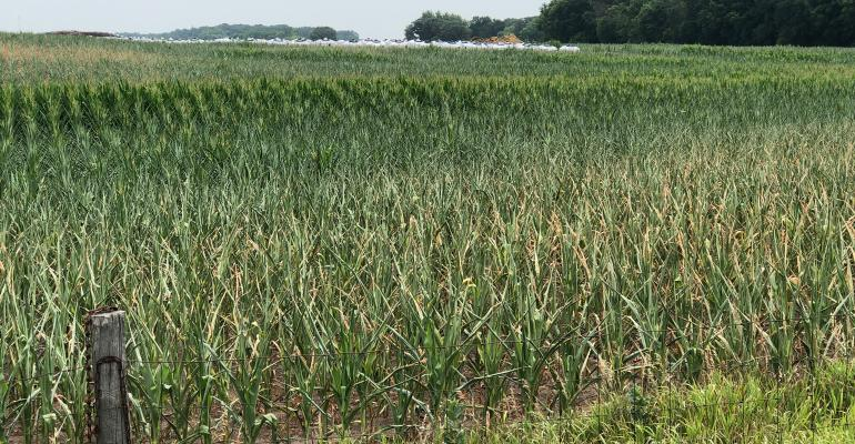 cornfield effected by drought