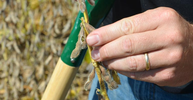 stinkbug damage on soybean pod
