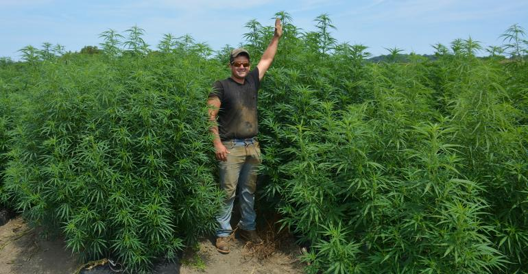 Bryan Harnish stands beside his 7-feet-tall hemp crop