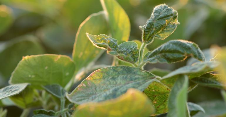 Dicamba damage to soybeans