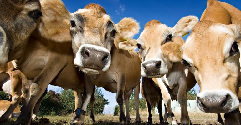 young Jersey cows' faces