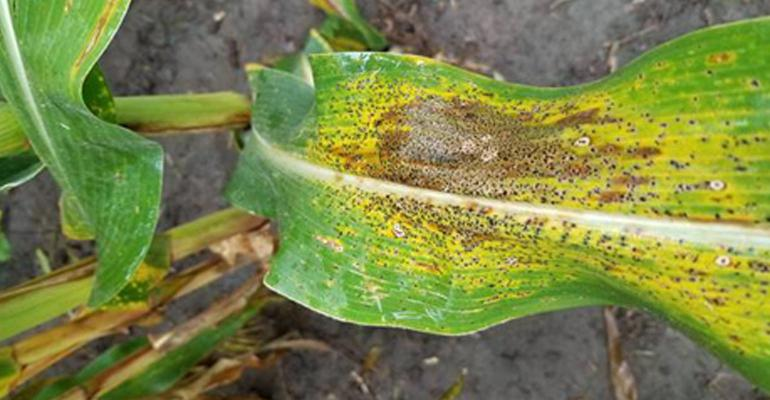 A close up of a corn leaf with dark spots identified as tar spot