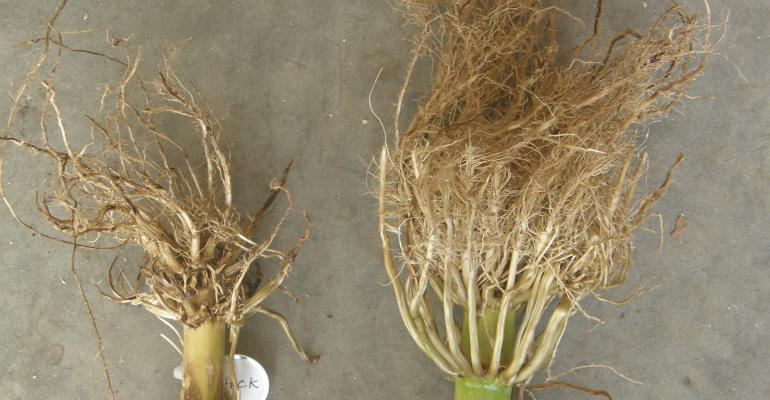 two masses of corn roots