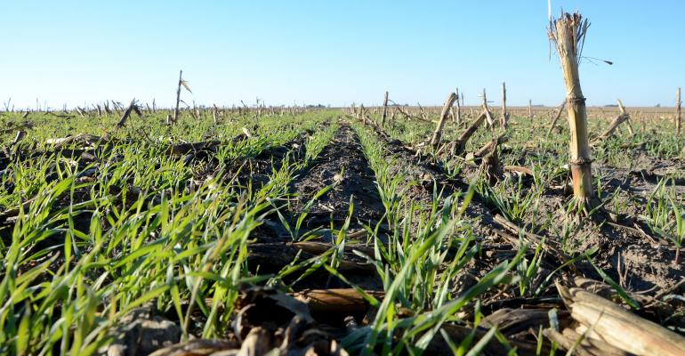 Close up of no-till cover crops field