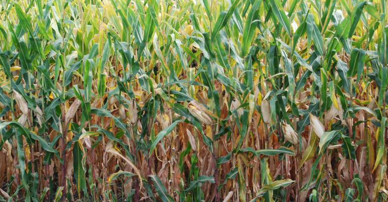 delayed maturity and slow drydown of corn shown in closeup of corn in field