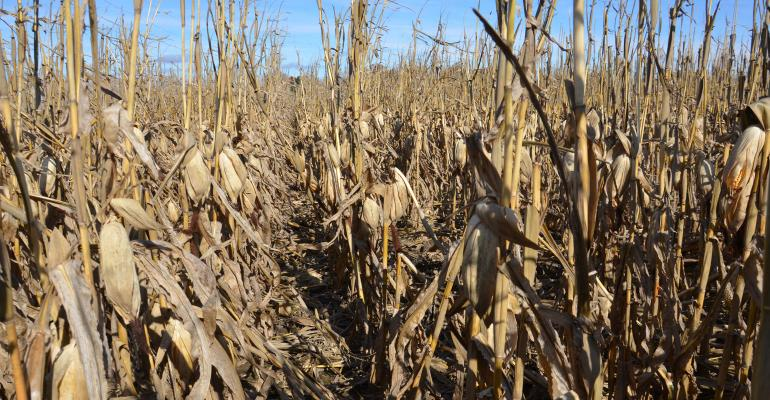 mature dry corn in field