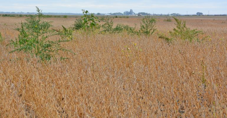 Weeds loaded with seeds rise above the soybean canopy