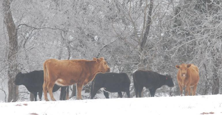 Cattle on pasture in an ice storm