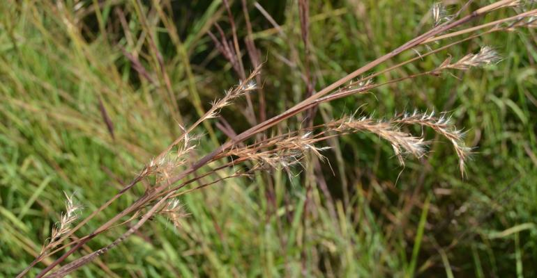 Grass seeds on the stem
