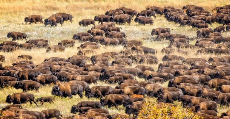 Large herd of bison