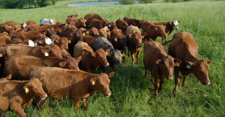 Cattle in managed grazing operation