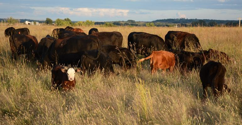 Cattle grazing at high stock density