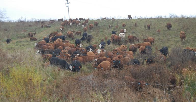 Grazing cattle in large herds offers ease of care, higher profits and great benefits to forage and soil. Adaptive management is the key.