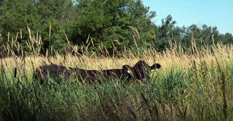 Beef animal in tall forage